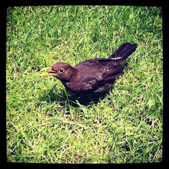 Young Black Bird in Salters' Garden