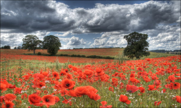 Poppy Fields by dballen101