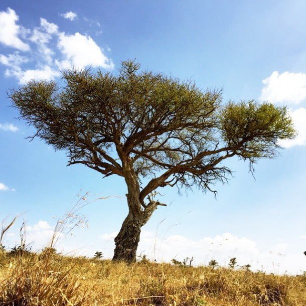 An ancient tree in the Laikipia.