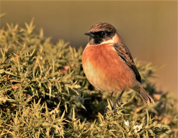 Stonechat by charlie.syme via Flickr