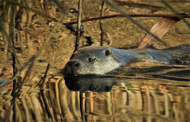 Otter by Charlie Syme