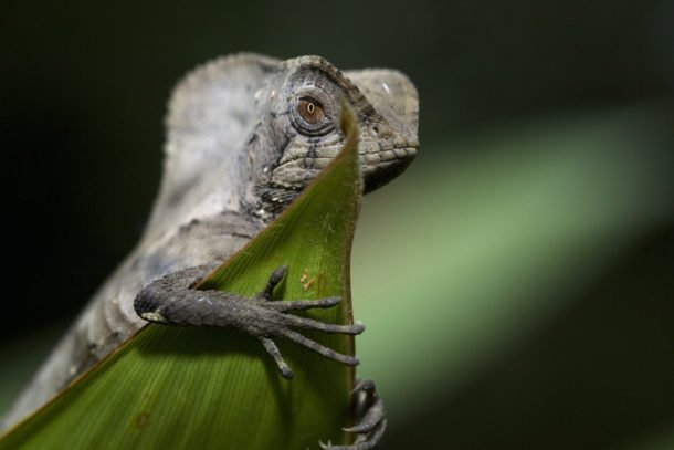 Helmeted Iguana by Alf Solano, Rainforest Photography