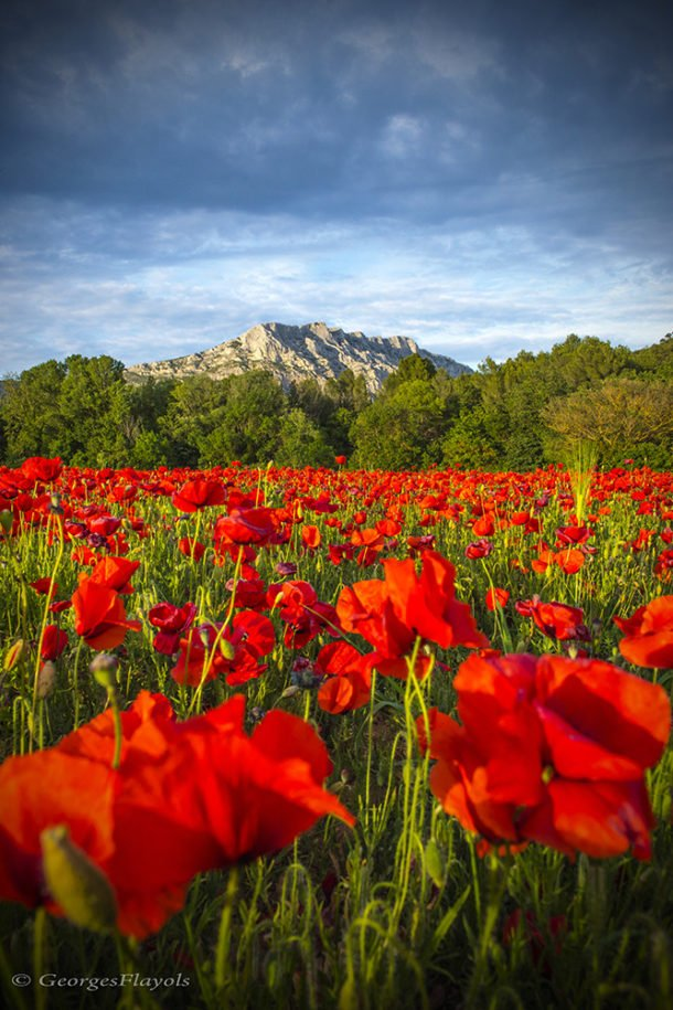 Sainte-Victoire aux Coquelicots by Georges Flayols
