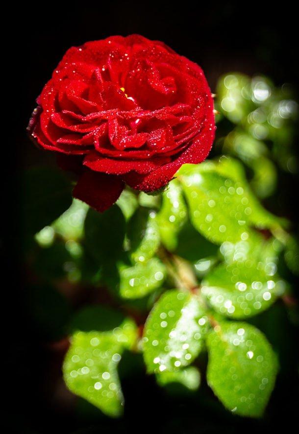 Misty Rose by Patrick Huffine