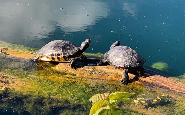 2 Turtles sunning themselves at Brooklands Lakes