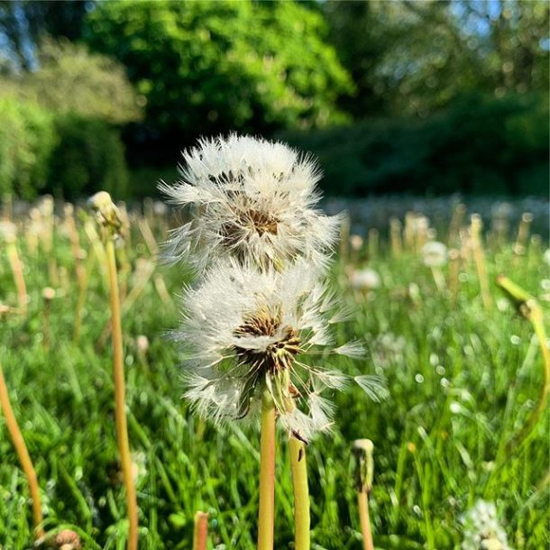 Dandelion in the Park